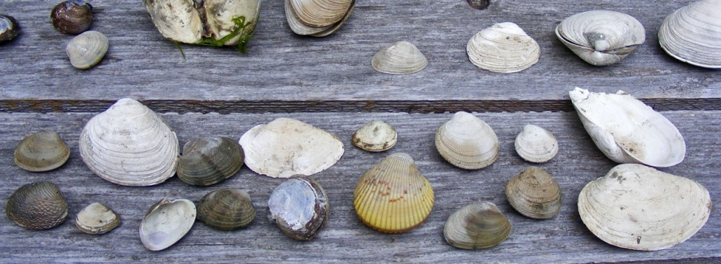 Shellfish varieties, Lloyd Creek Bay